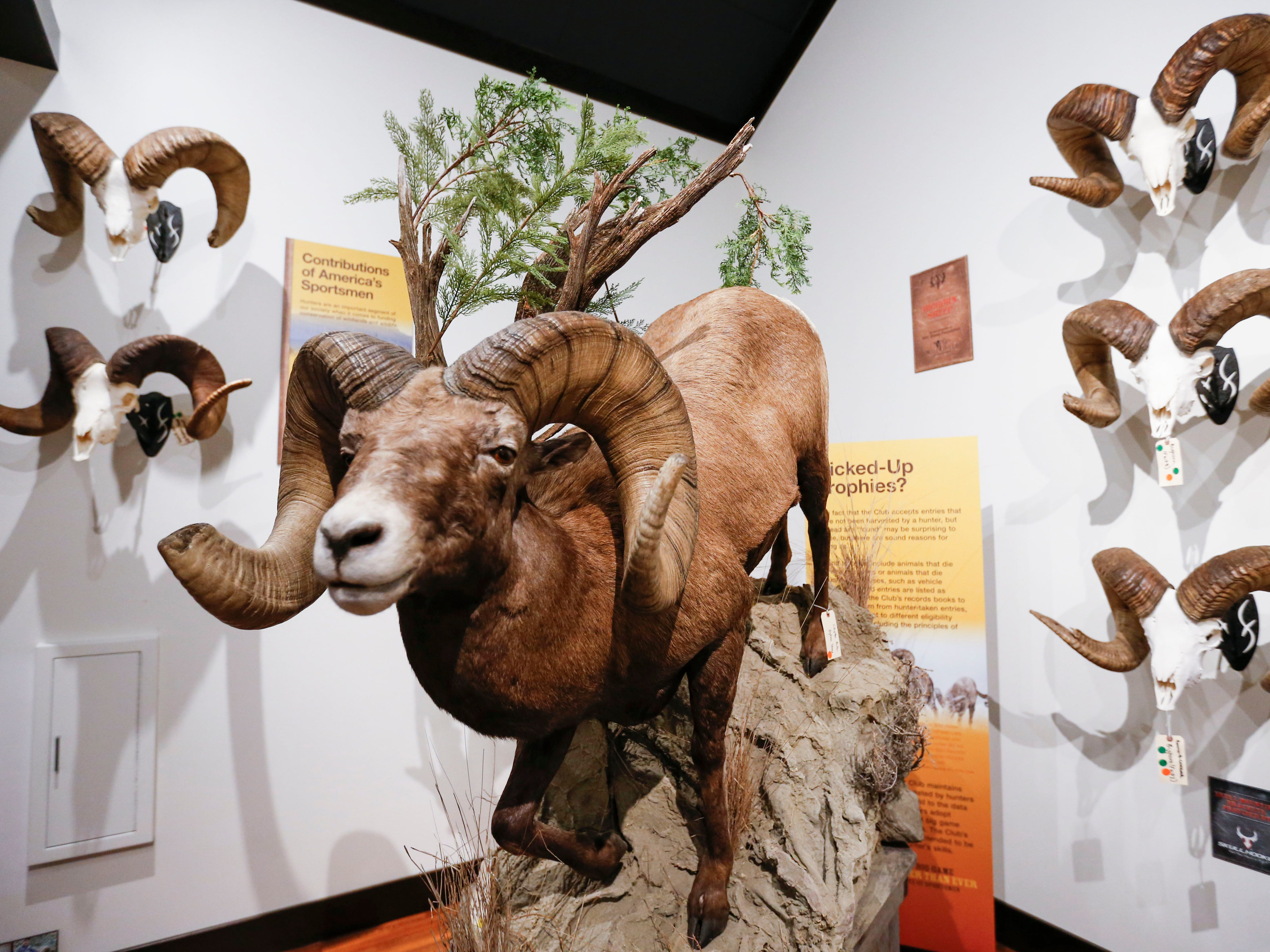 World record Rocky Mountain big horn sheep mounts on display from Saturday until Aug. 4. as part of a display from the Boone and Crockett Club at Bass Pro Shops in Springfield.