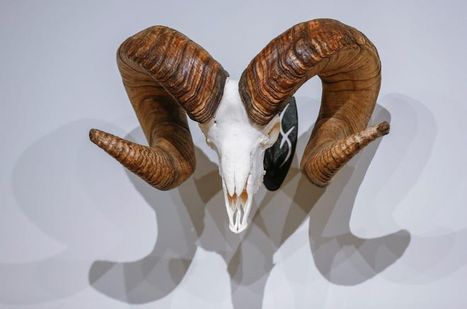 A world record Rocky Mountain bighorn sheep skull and horns on display from Saturday until Aug. 4. as part of a display from the Boone and Crockett Club at Bass Pro Shops in Springfield.
