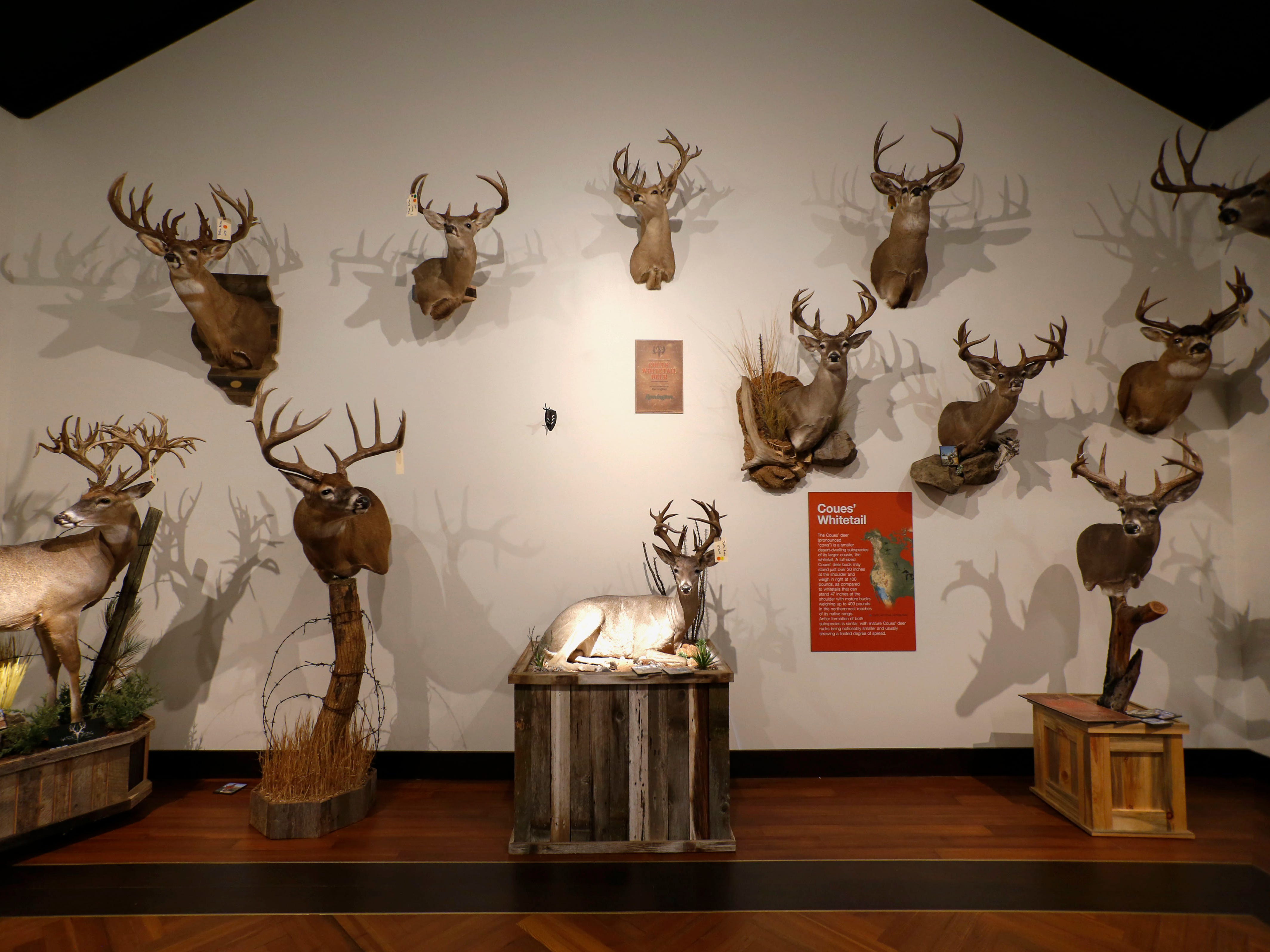 Deer represent just one of the 26 species on display at Bass Pro Shops in Springfield from Saturday until Aug. 4. as part of a display from the Boone and Crockett Club.