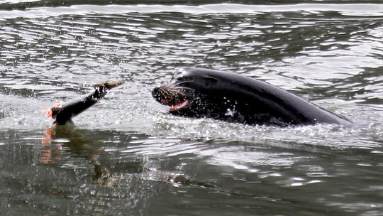 In this May 4, 2010, file photo, a sea lion tosses a partially eaten salmon in the Columbia River near Bonneville Dam. Federal authorities have started killing more California sea lions preying on imperiled salmon in the Columbia River below a hydroelectric project on the Oregon-Washington border.