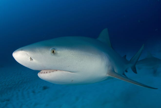 A bull shark was blamed for an April 2007 attack on a man in Collier County.