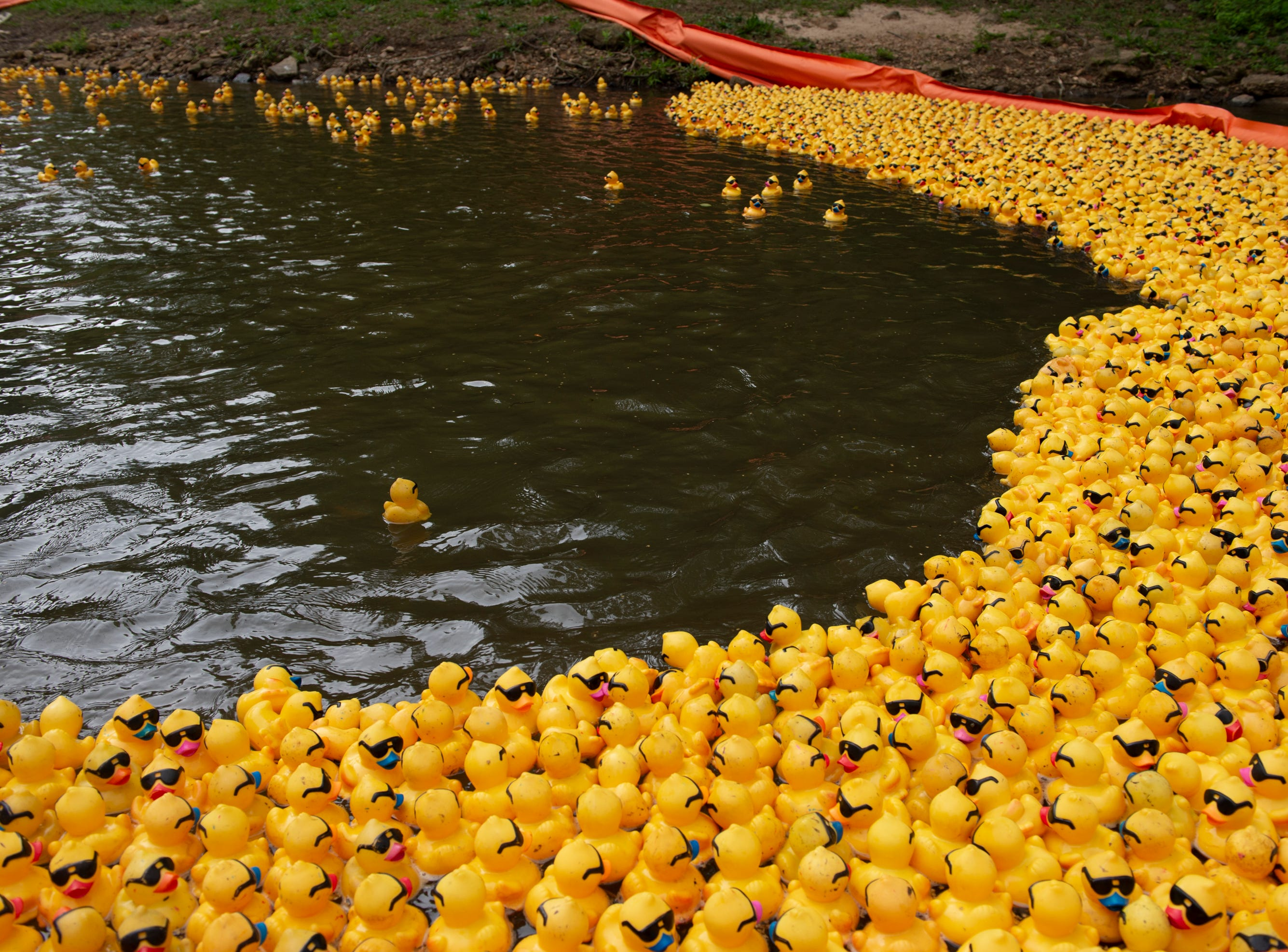 Ducks are corralled at the finish of the 2019 Reedy River Duck Derby in Falls Park on the Reedy Saturday, May 4, 2019.