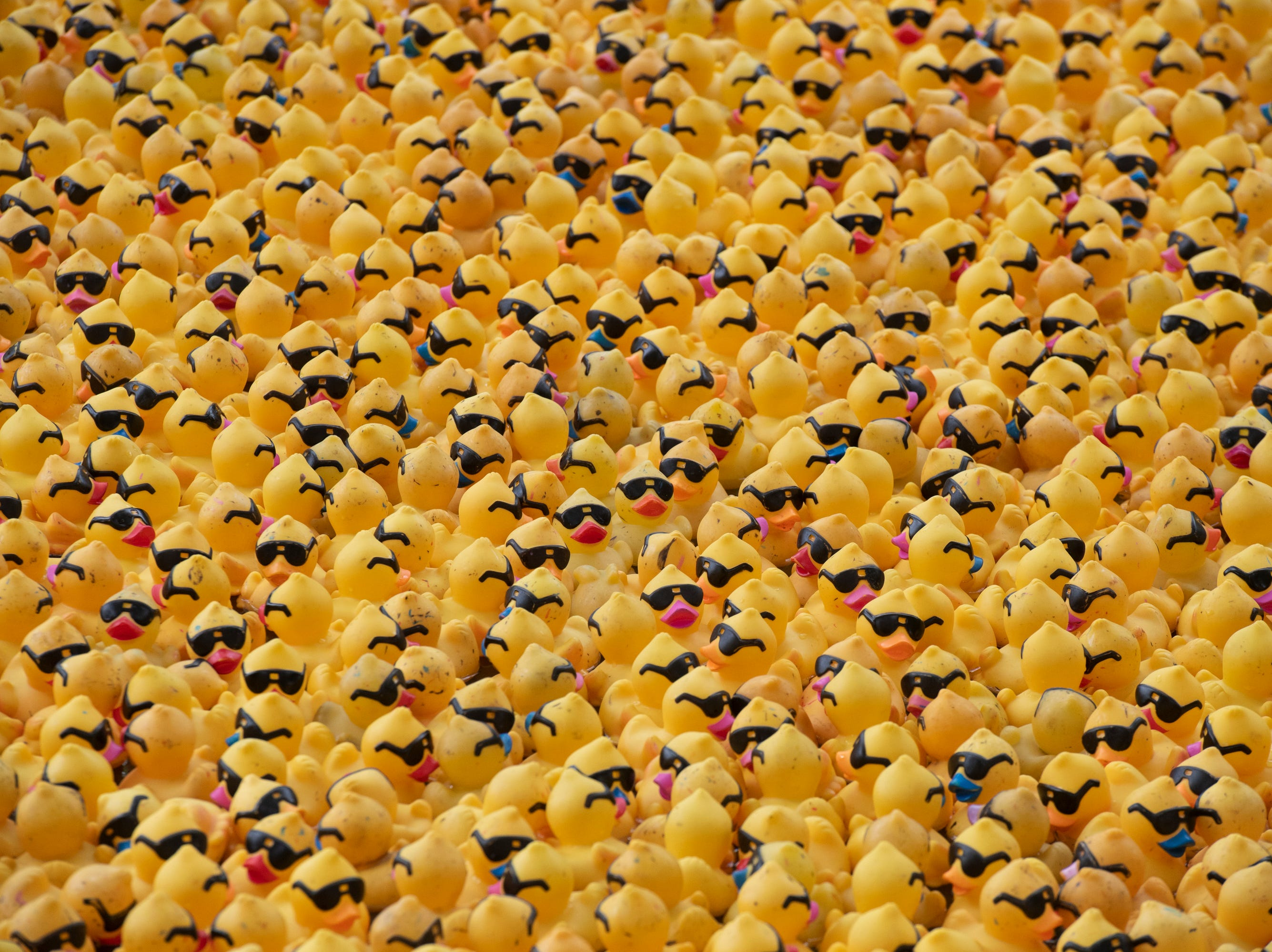 Ducks for the 2019 Reedy River Duck Derby are corralled before the start of the race in Falls Park on the Reedy Saturday, May 4, 2019.