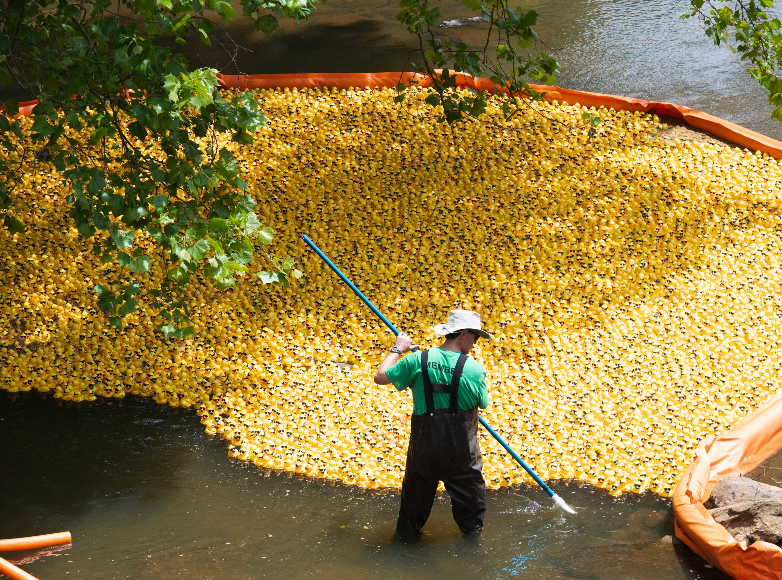 Eric Krichbaum corrals ducks before the start of the 2019 Reedy River Duck Derby in Falls Park on the Reedy Saturday, May 4, 2019.