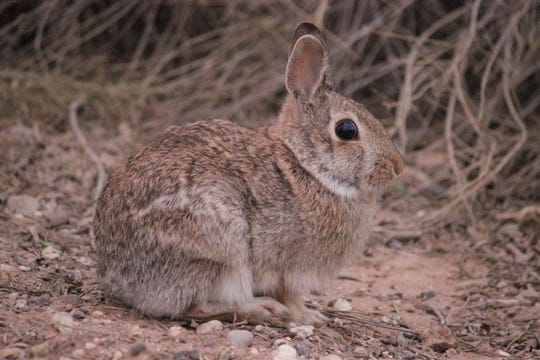 Eastern cottontails are one of four members of their genus to reside in Texas, and  are by far the most widespread.