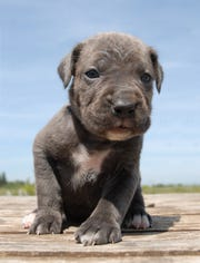 Stock image of a Cane Corso puppy. Five of the puppies were found dumped on a NJ roadside this week.