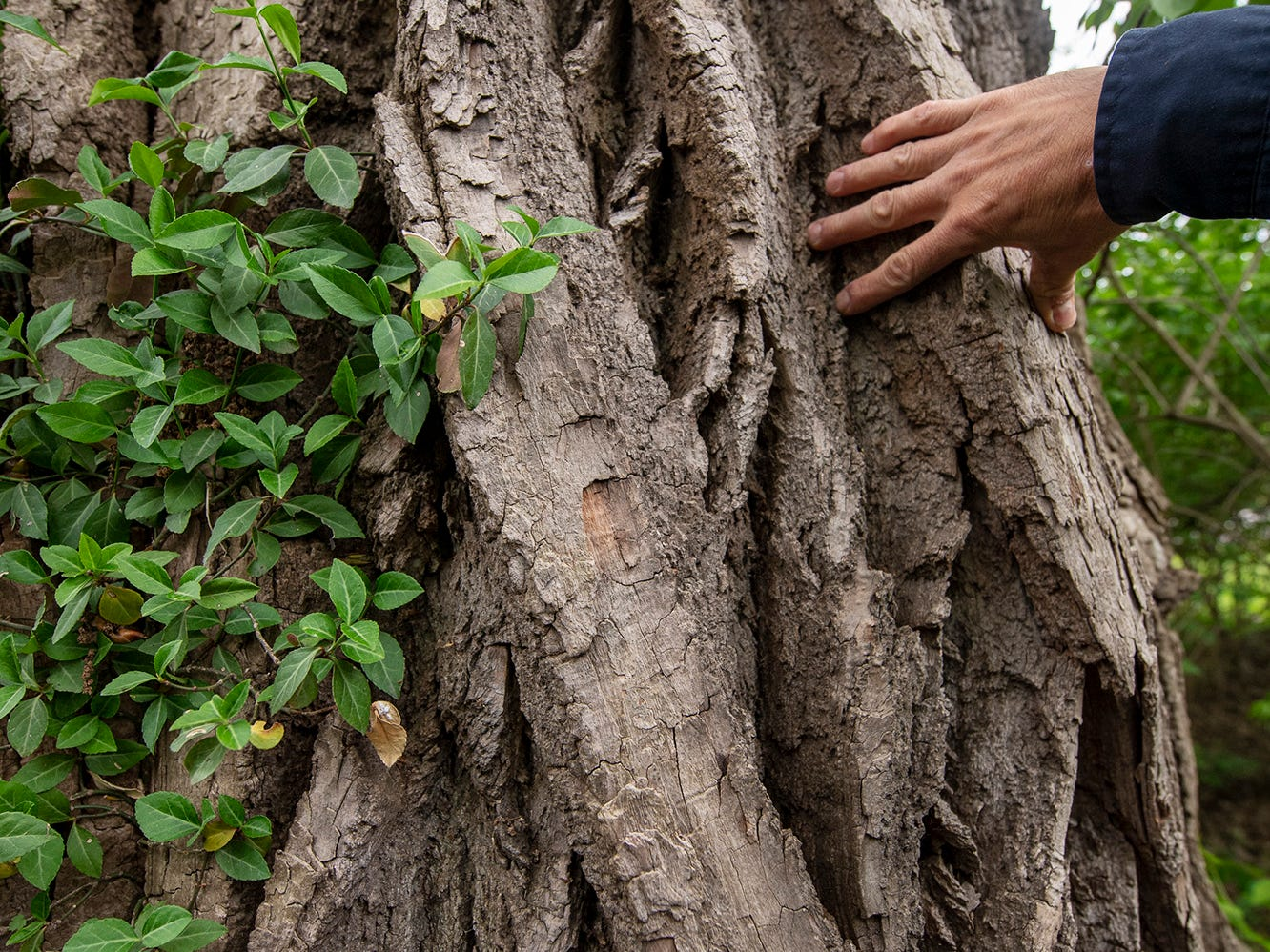 Matt Kern, a forester with the state department of conservation and natural resources, tucks his fingers in the braided bark with grooves at least three inches thick on the trunk of the Cottonwood.