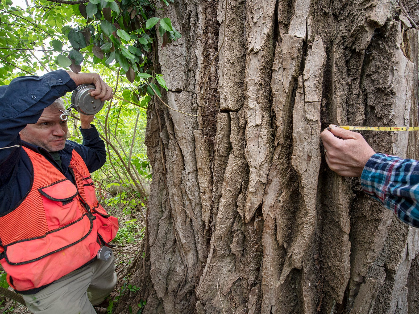 Matt Kern, a forester with the state department of conservation and natural resources, wraps his tape measure around the largest tree in York County and one of largest Cottonwood trees in the state at Magnesita Refractory Co. in West Manchester Township. The diameter of the tree is over 23 feet.