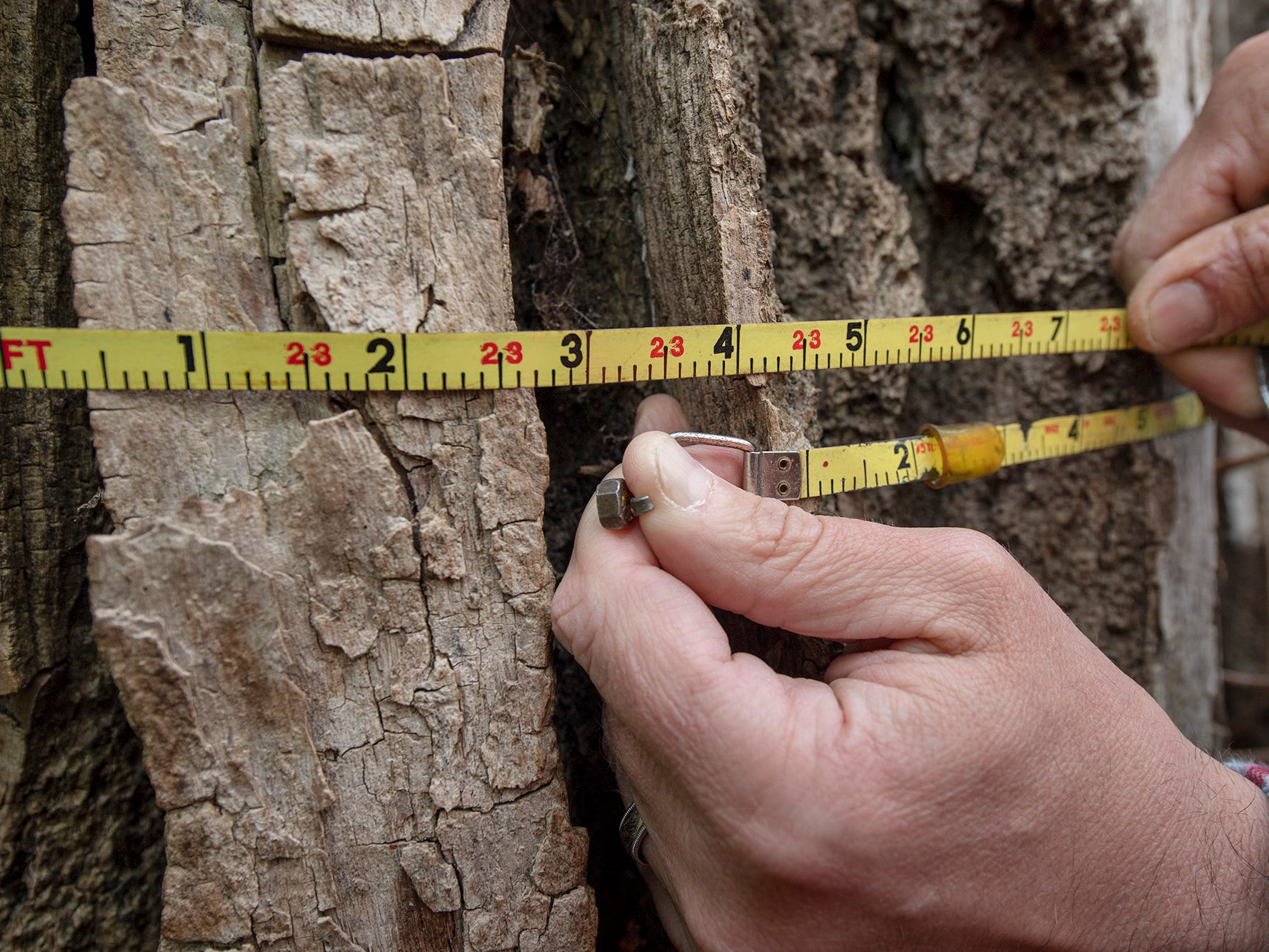 The largest cottonwood in York County measures about 23 feet and three inches in circumference at a predetermined standard height from the ground for measuring trees.