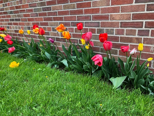 The Spencer Middle School garden on the west side of the building is blooming with lovely spring bulbs. Teacher Emily Cron leads the sixth-grade students in mulching, planting and tending the garden.