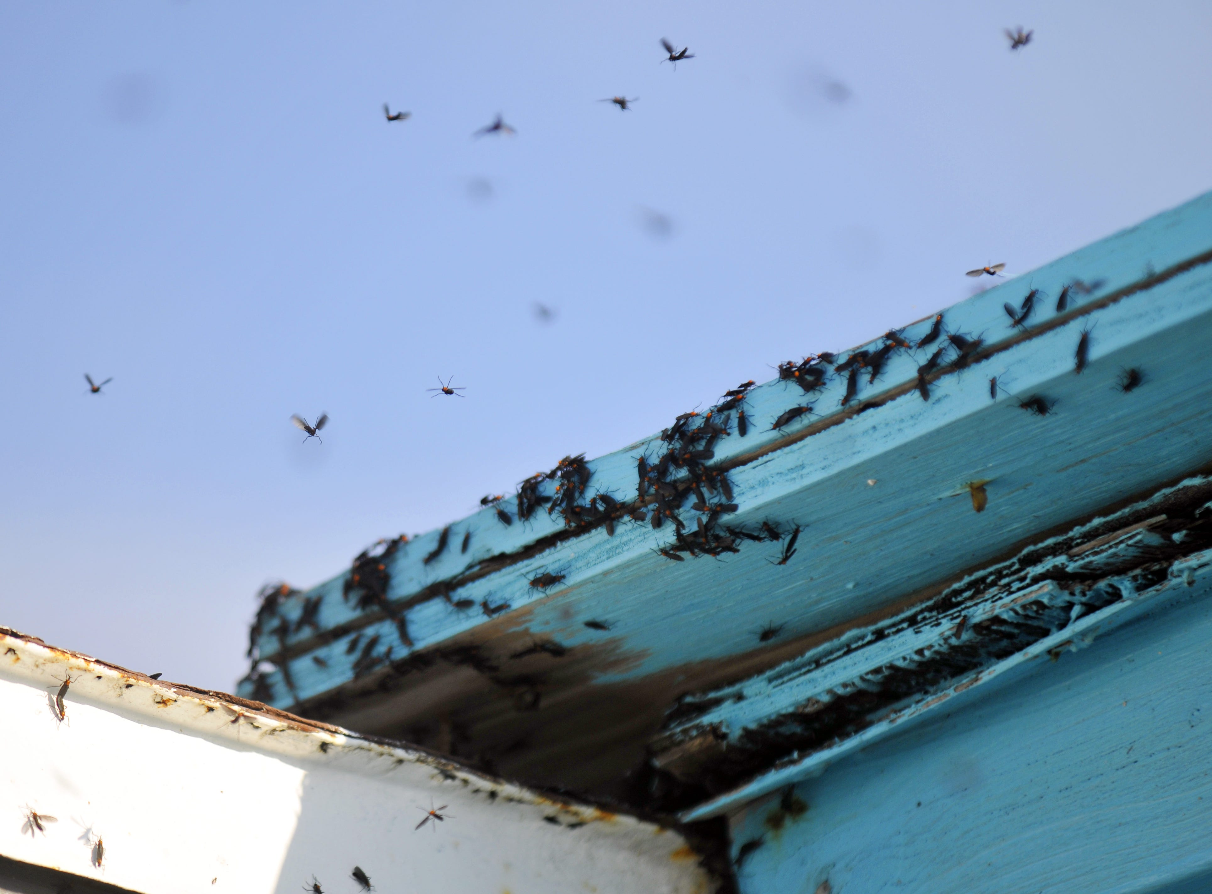 Love bugs swarm around a building at the Cocoa Beach Pier during lovebug season.