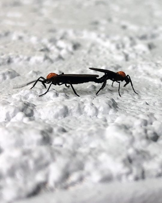 Lovebugs are pests in Florida twice a year.
