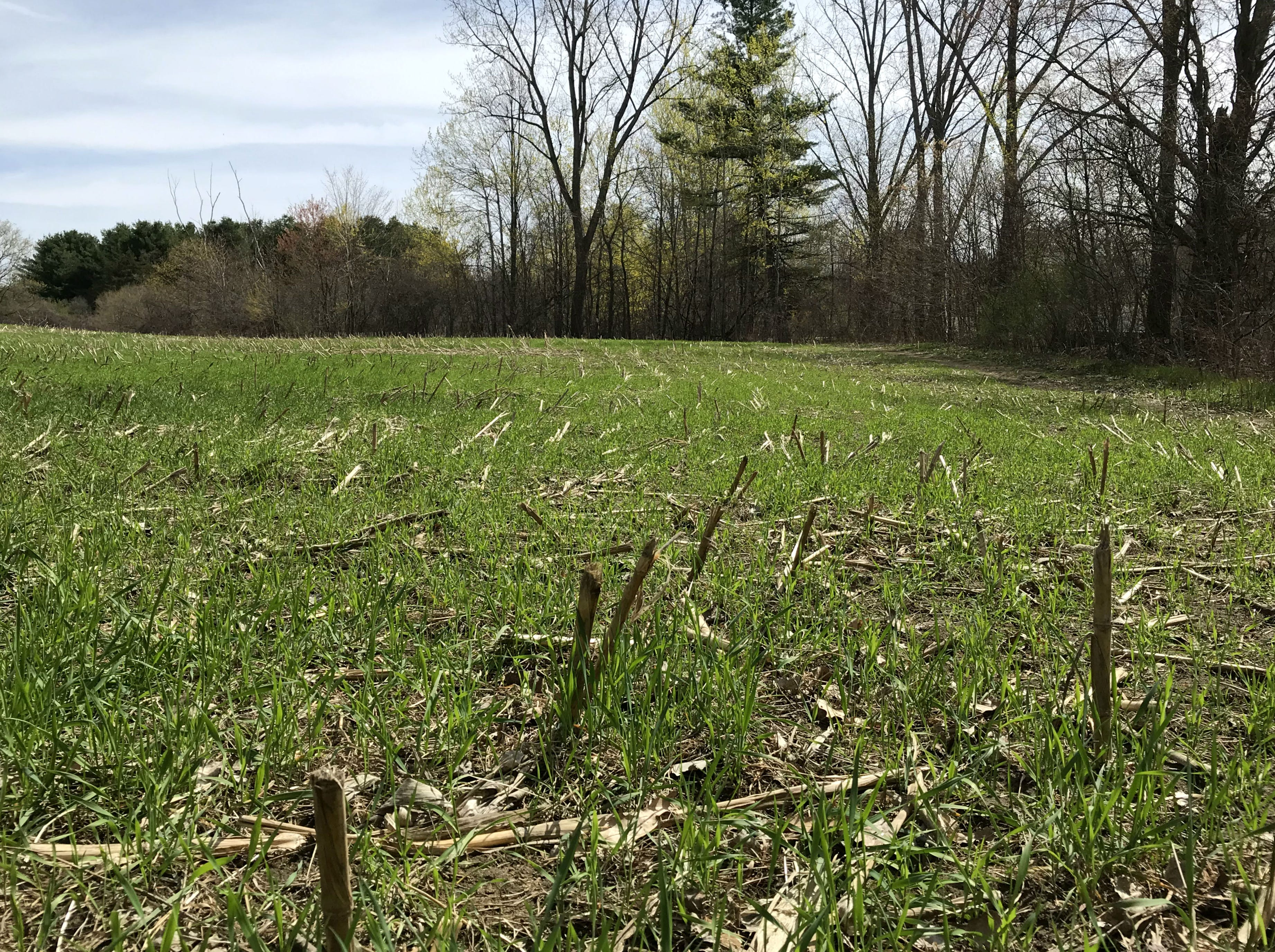 Green grass grows among the corn stover in a field in South Burlington Sunday, May 5, 2019.