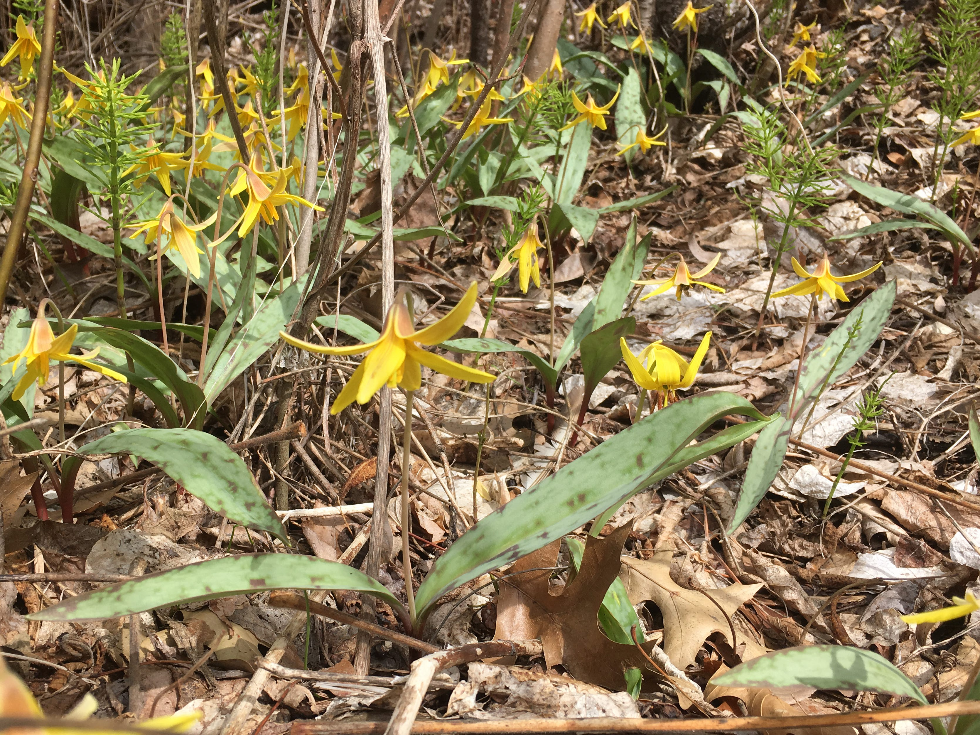 Trout lilies, marked with characteristic mottled leaf-coloring, thrive along Flynn Avenue near Burlington's Oakledge Park on Sunday, April 5, 2019.