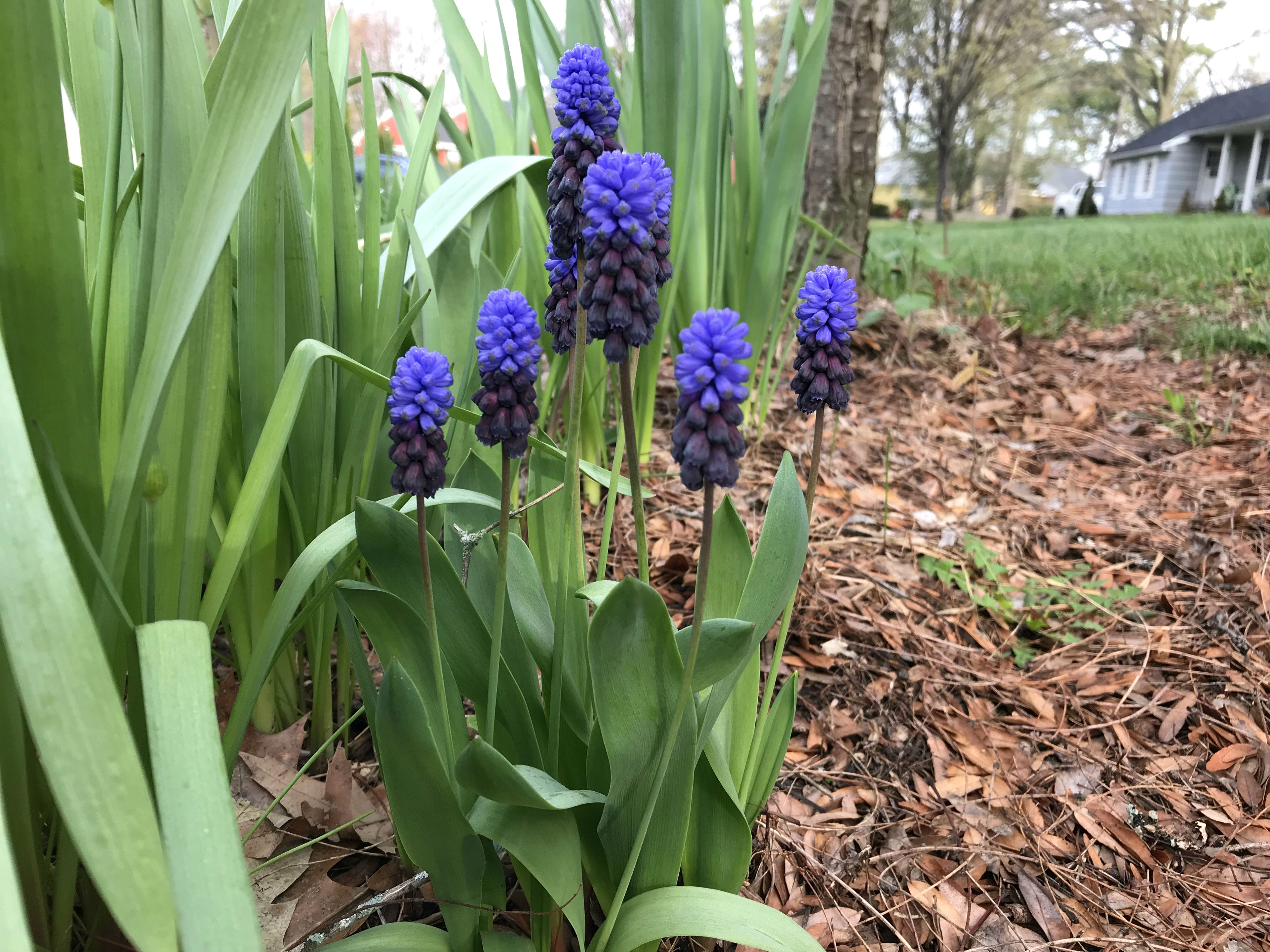 Grape hyacinth in bloom in South Burlington on Sunday, May  5, 2019.