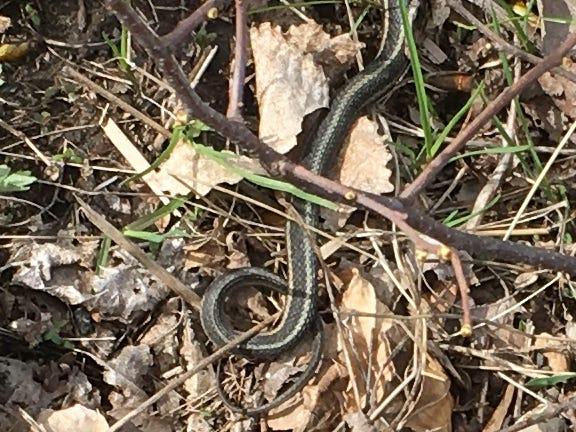 The tail-end of a garter snake blends in with vegetation along Burlington's shoreline near Perkins Pier on Sunday, April 5, 2019.