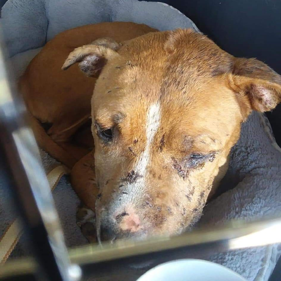 A picture of Daisy after being rescued from the SPCA kennel in Northside