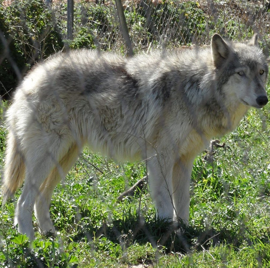Woman accused of stealing high-priced wolf/dog hybrid, cash, 200 gold rings