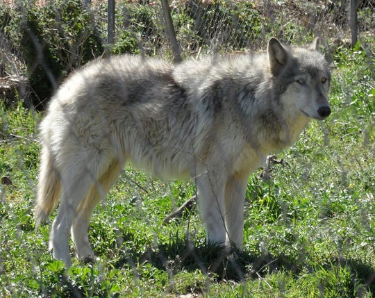 A wolf/dog hybrid simlar to the one shown in this photo was stolen from a home in Henderson County.