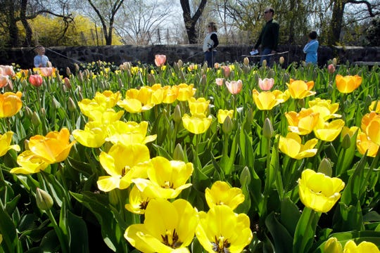 You can tiptoe by (if not actually through) the tulips at the Garden Walk at Boerner Botanical Gardens on May 15.
