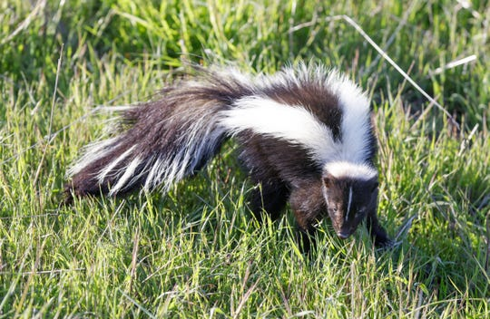 Striped Skunk, Santa Clara County, California, USA.