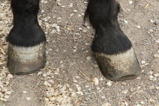 Dulce's front hooves are pictured Monday after two trimmings at Animal Haven Clinic in Farmington.