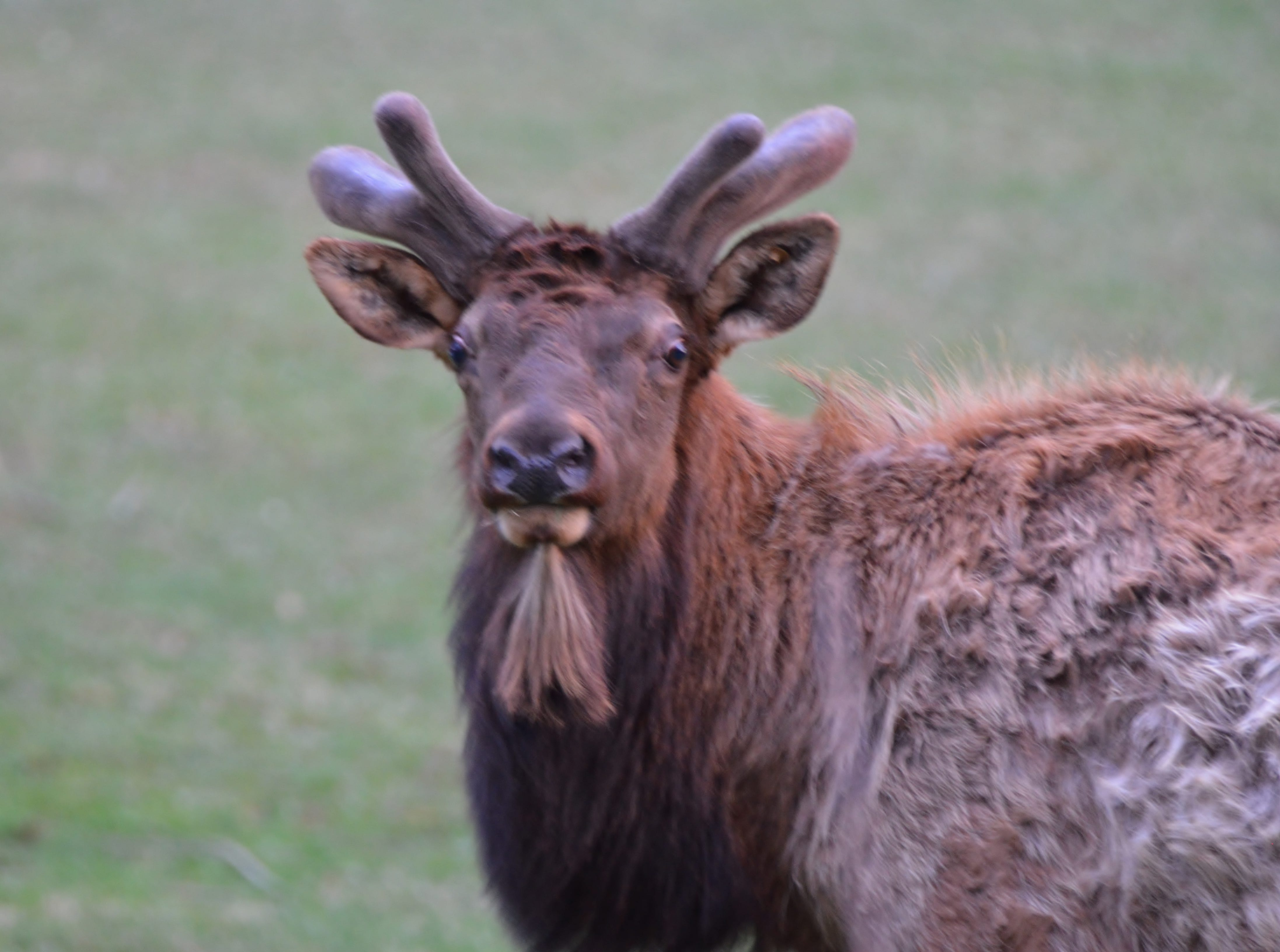 During the spring, elk are growing new antlers at the rate of an inch a day.