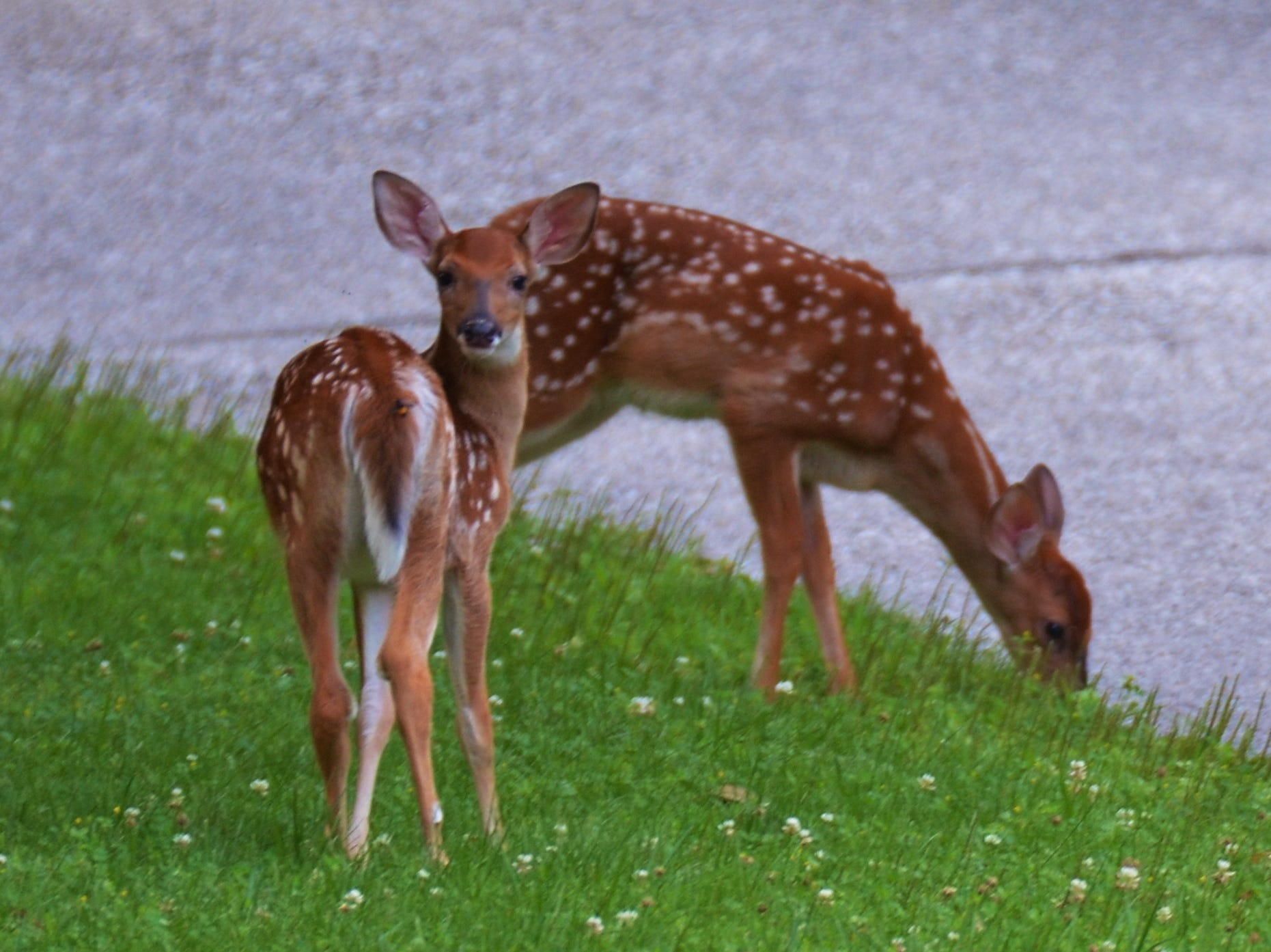 Two fawns take time to feed. Whitetail deer will be having fawns by mid-May.