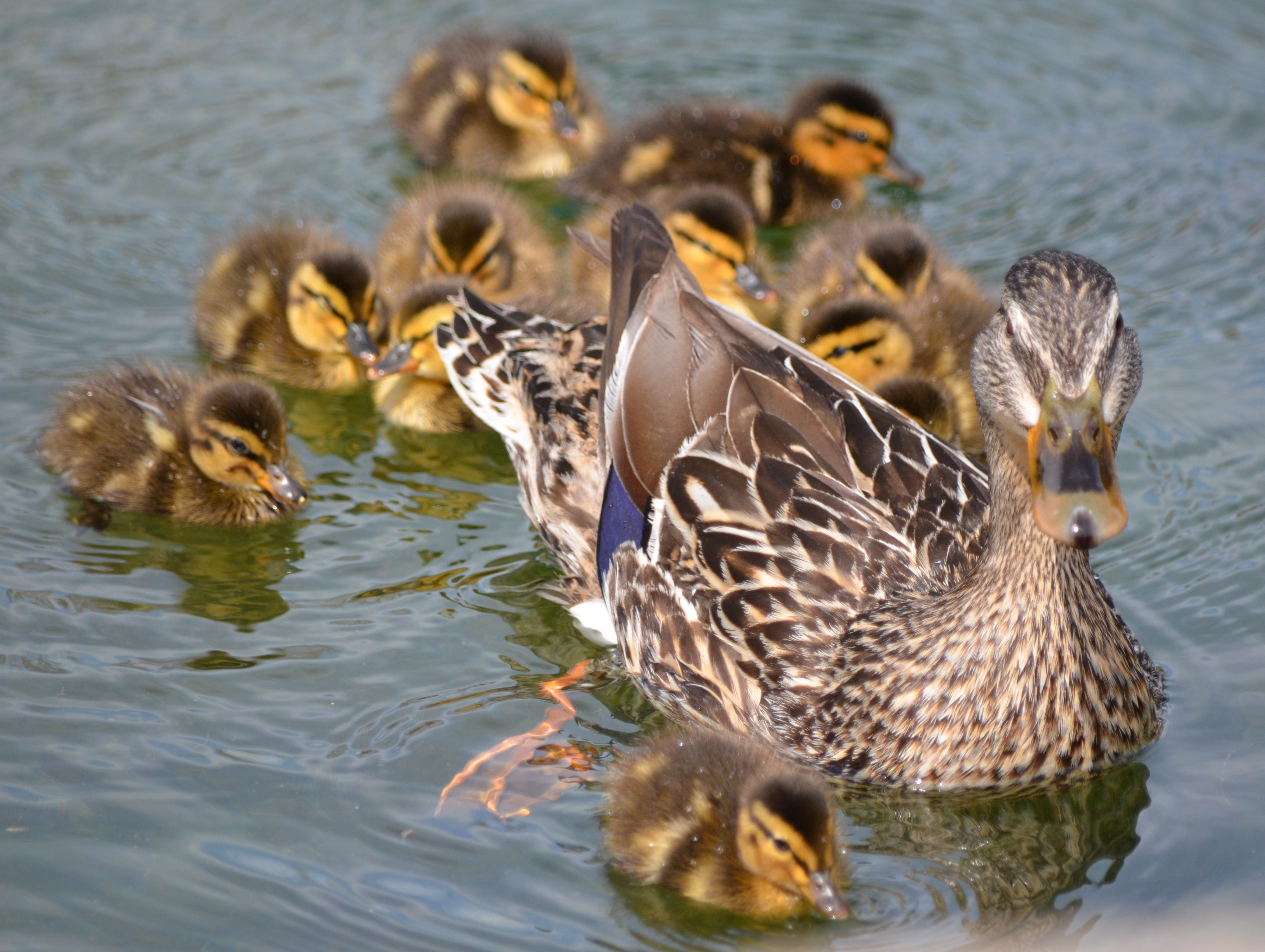 Juvenile Mallards with their mother.