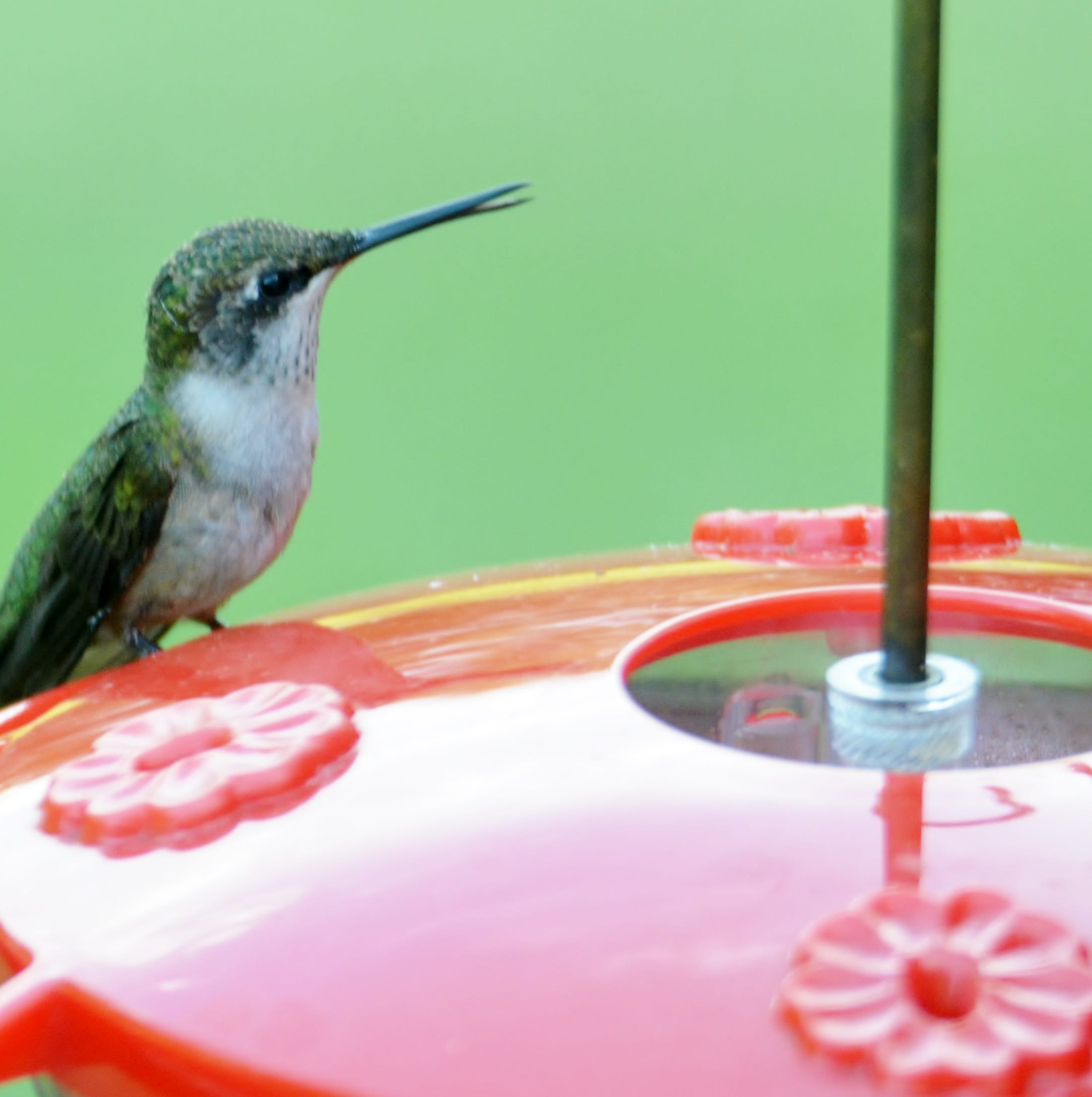 The flight of the hummingbird: How they get to Pa. and how fast their wings actually move