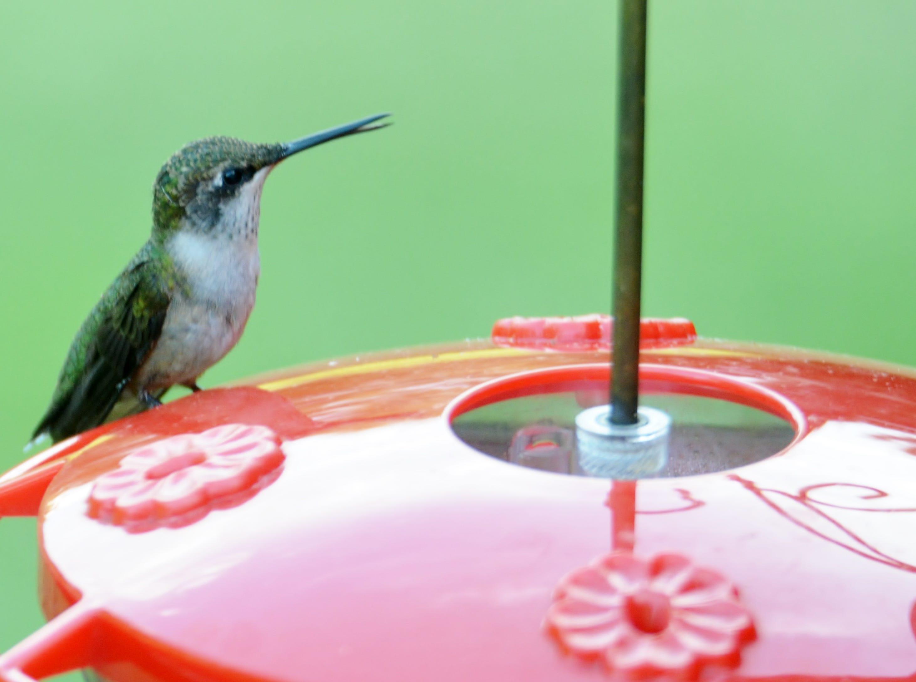 A female hummingbird sits on a feeder, ready to dip its beak in a sugar water mixture.