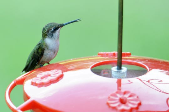 A female hummingbird sits on a feeder, ready to dip its beak in a sugar water mixture.