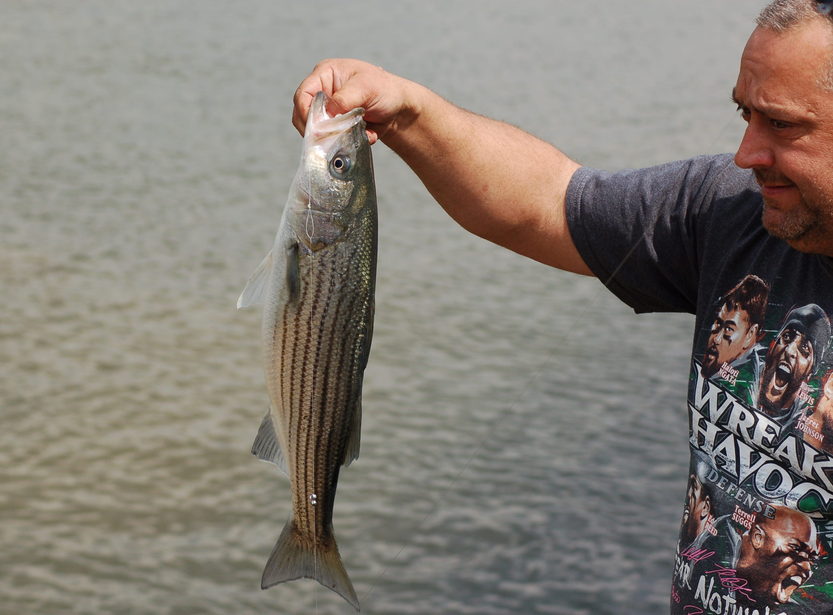 Striped bass are making their way up the lower Susquehanna.