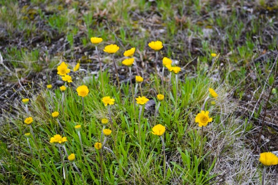 A few Lakeside Daisies began blooming in April. The population will reach peak bloom in time for a public hike on Mother's Day hosted by Preserve Manager Ryan Schroeder of the ODNR.