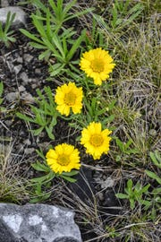 The Lakeside Daisy grows heartily in the limestone bedrock of the Lakeside Daisy State Nature Preserve in Marblehead.