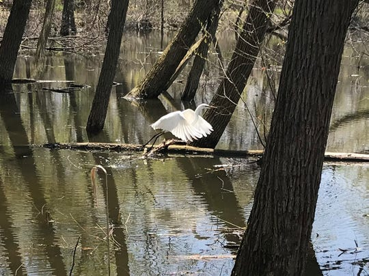 A great egret flies through Sheldon Marsh State Nature Preserve in Huron Sunday. The nature preserve is one of several featured birding sites for this year's Biggest Week in American Birding, which runs through May 12.