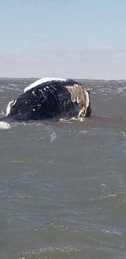 Watermen have spotted several dead whales this spring off Oyster in Northampton County, Virginia.