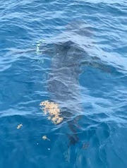 Michael Bramhall of Port St. Lucie saw this 12-14 foot long great white shark offshore of Fort Pierce Sunday.