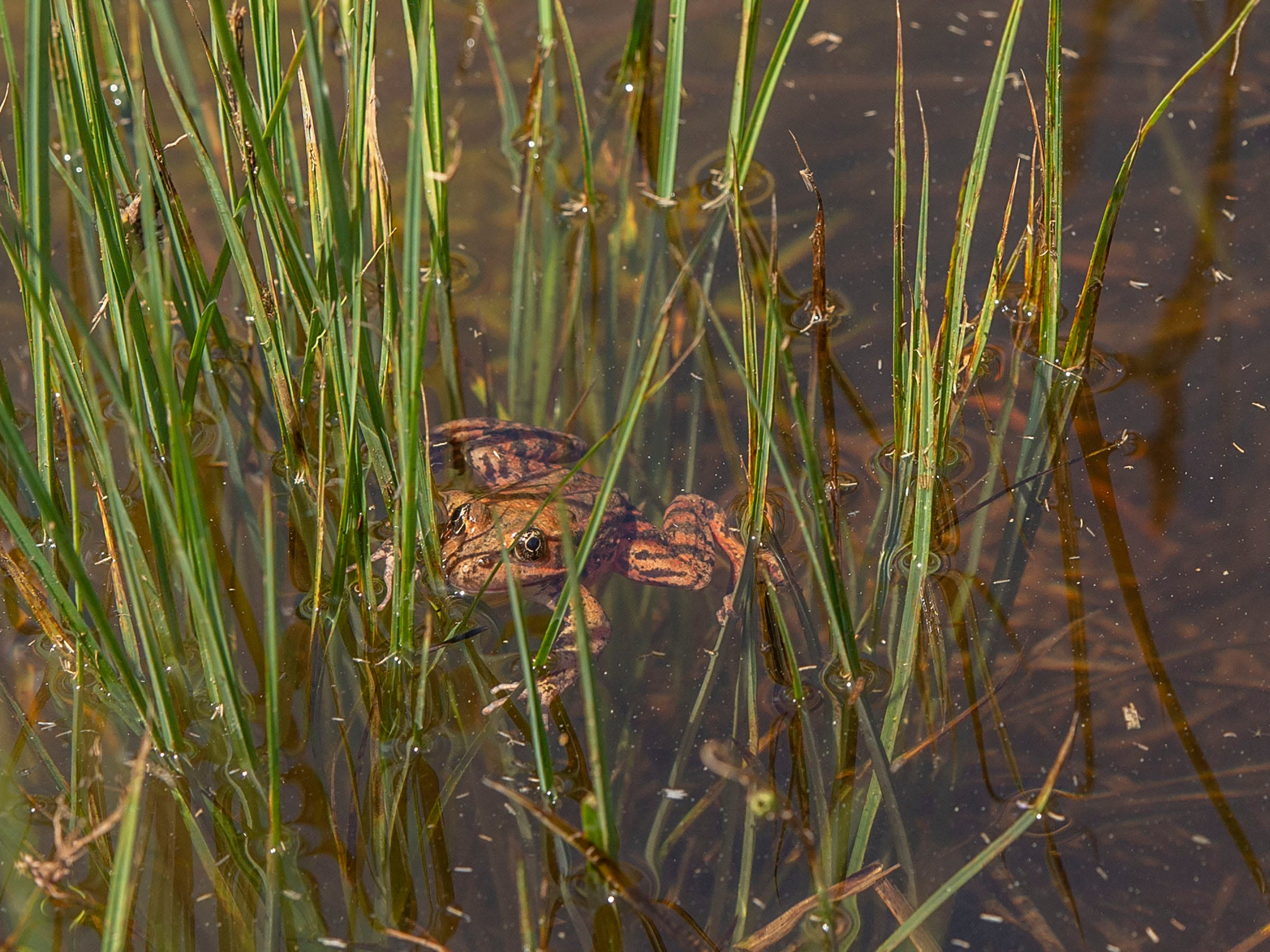 A red-legged frog released Friday at Yosemite National Park is shown in this photo provided by the National Park Service.