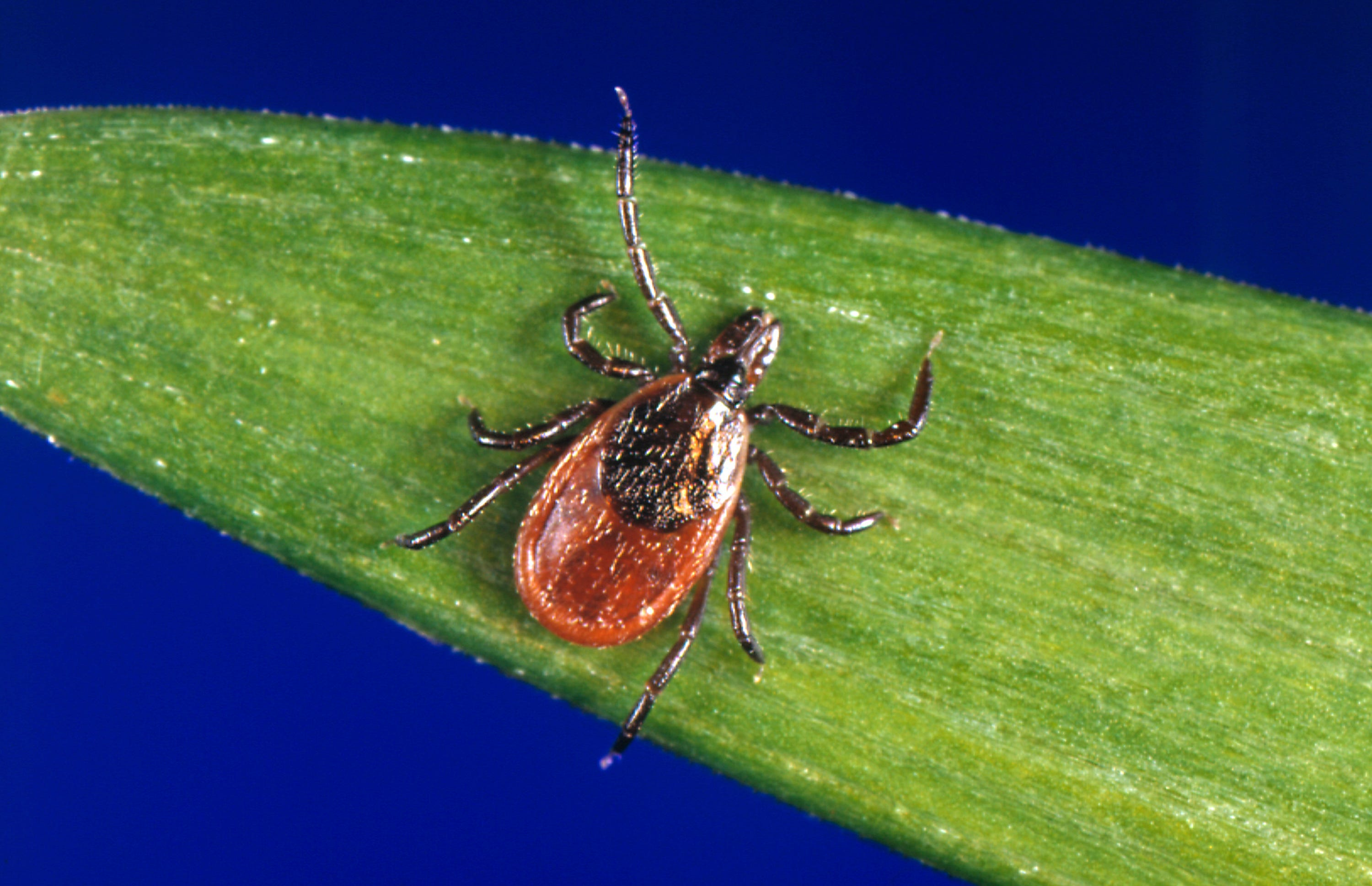 The black-legged tick, also known as a deer tick, can carry Lyme disease.