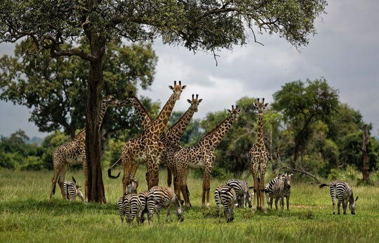 In this March 20, 2018, file photo, giraffes and zebras congregate under the shade of a tree in the afternoon in Mikumi National Park, Tanzania. The United Nations issued its first comprehensive global scientific report on biodiversity on Monday, May 6, 2019. The report explored the threat of extinction for Earth's plants and animals.