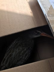 This is  Oculus the Clapper Rail, feeling more secure in a box as we share a cab uptown.