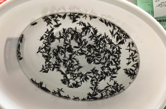 Lovebugs are collected in an area at Burger Inn in Melbourne.