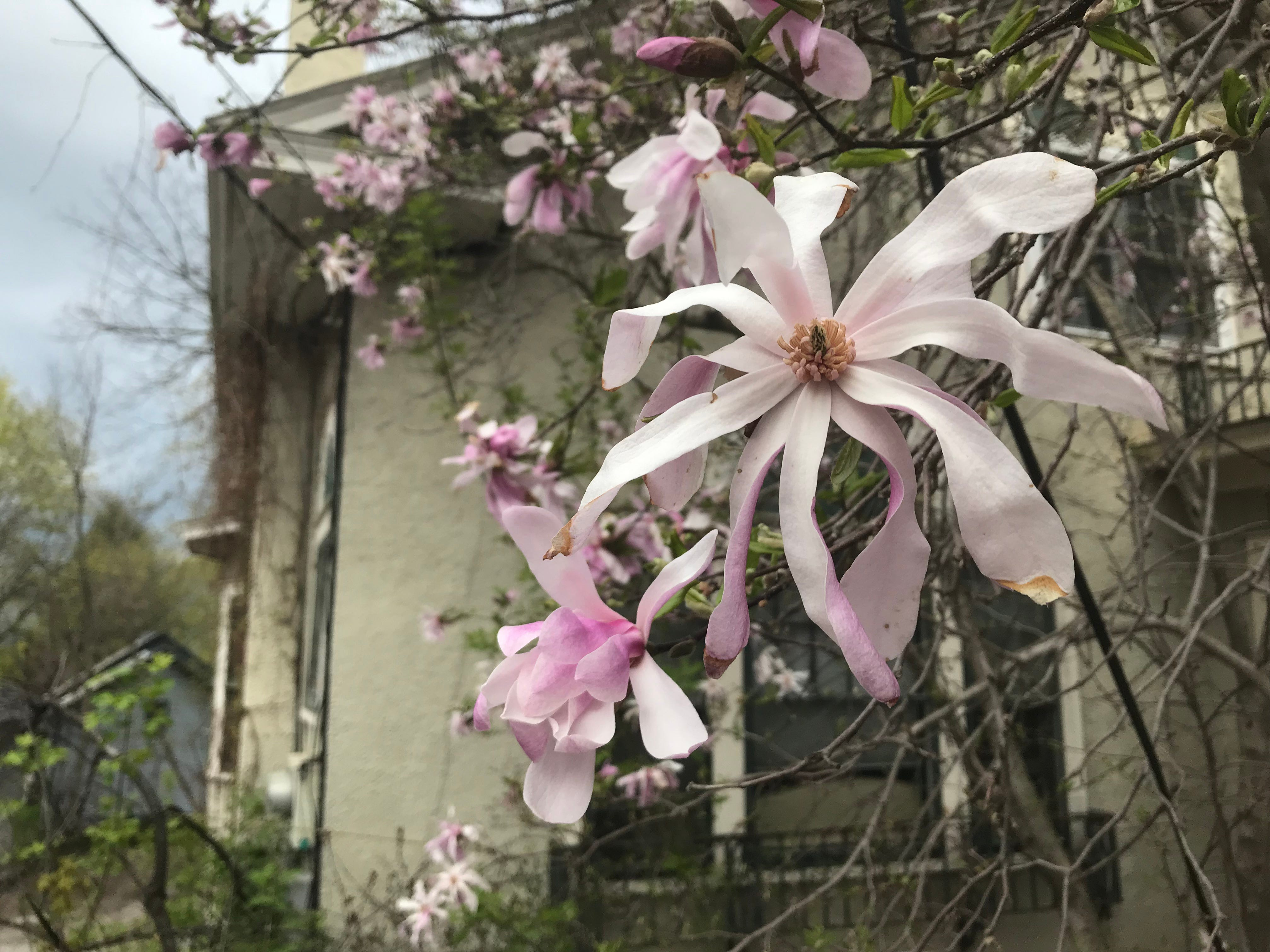 Ripening magnolia blossoms brighten a tree on South Winooski Avenue in Burlington on Tuesday, May 7, 2019.