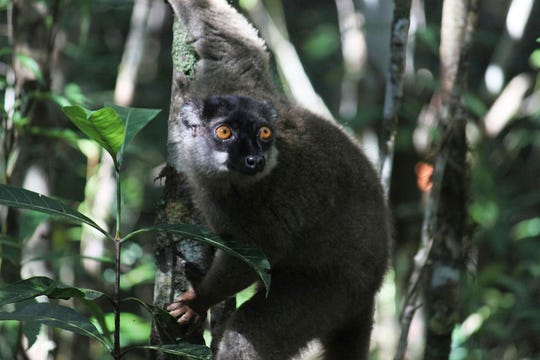 A lemur looks through the forest at Andasibe-Mantadia National Park in Andasibe, Madagascar. Development that's led to loss of habitat, climate change, overfishing, pollution and invasive species is causing a biodiversity crisis, scientists say in a new United Nations science report .