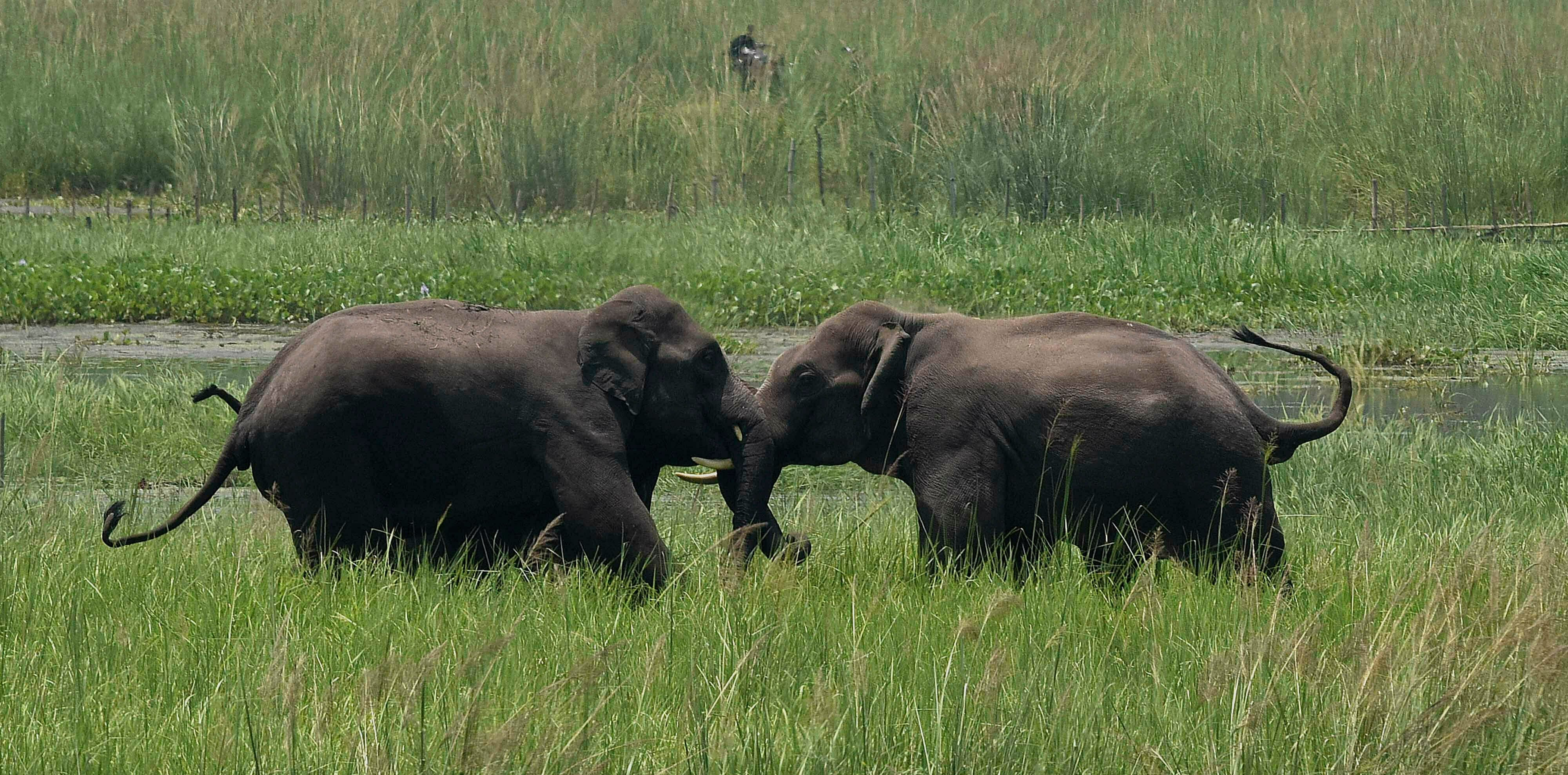 Two wild elephants engage in a tussle on the outskirts of Gauhati, Assam, India.