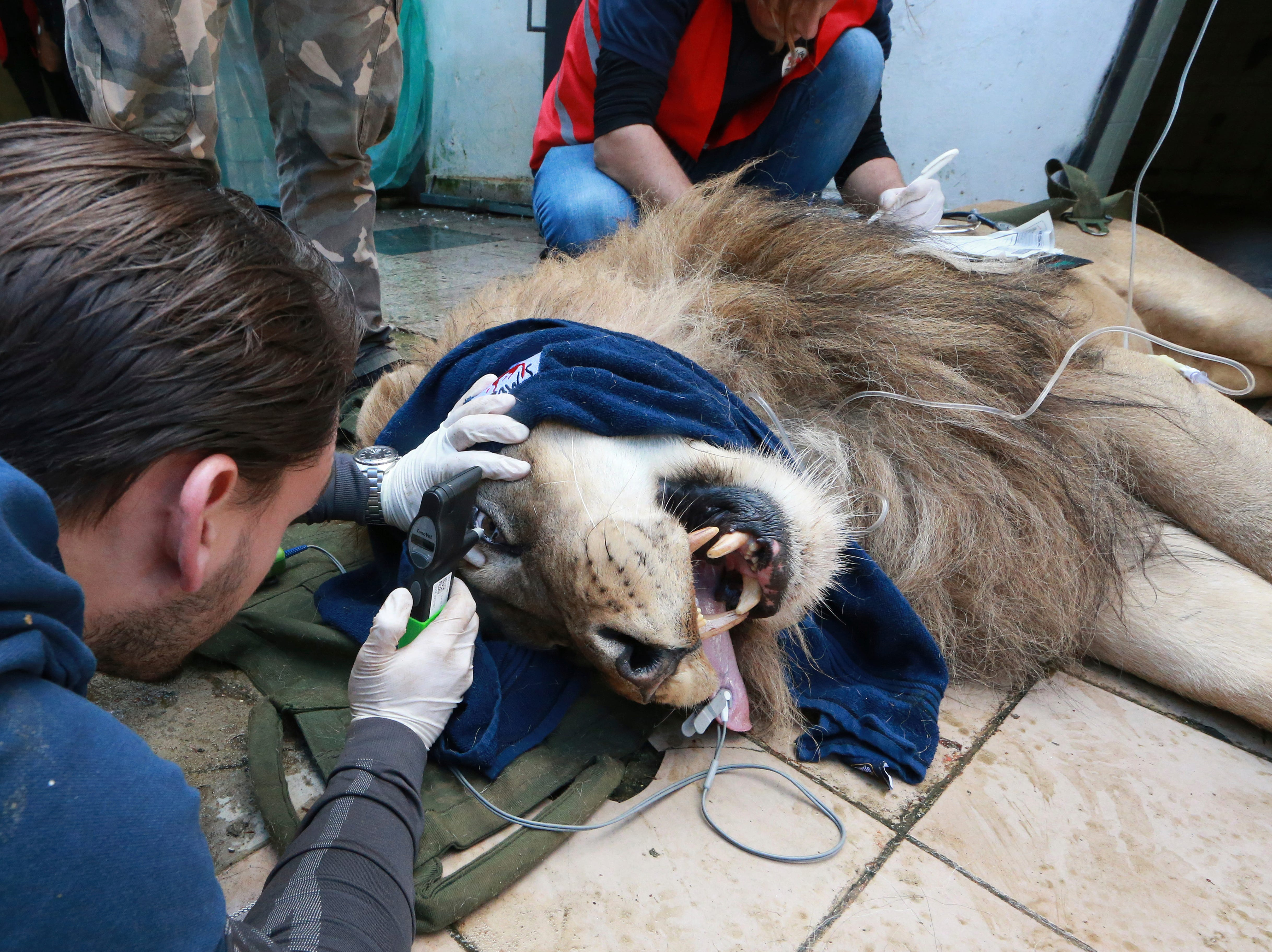 Veterinarian Marc Goelkel of the international animal welfare group Four Paws inspects Bobby, a sedated lion, at Tirana Zoo, Albania on Tuesday, May 7, 2019. Bobby is one of three lions, Lenci, Bobby and Zhaku, at the Tirana Zoo that will be transferred to the Felida Big Cat Centre in the Netherlands for better conditions.