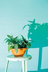 "Moses in the Cradle, also known as an oyster plant, makes a good low or medium-light houseplant, writes Steinkopf. ""Nonvariegated cultivars of this plant can take low to medium light, such as a north or east window,"" she says."