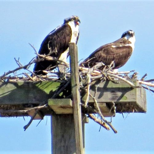 Chemung River finally gets second pair of nesting ospreys