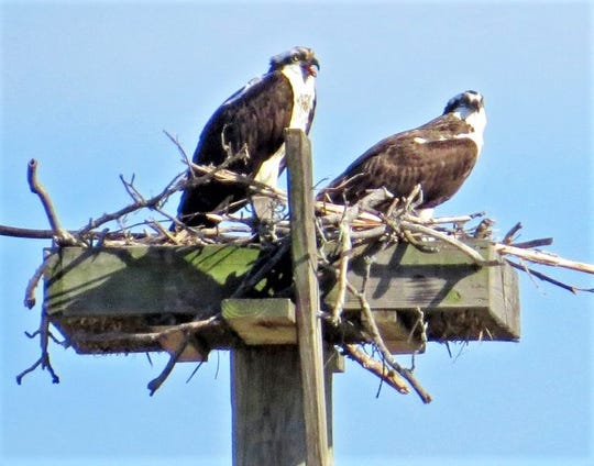 A pair of ospreys is finally occupying a nesting pole that was erected six years ago along the Chemung River in Elmira.